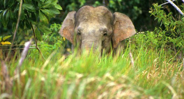 La foresta degli elefanti massacrata dai giganti dell'Olio di Palma!