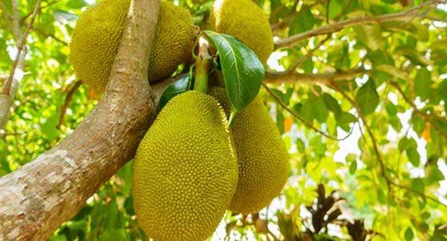 Jackfruit: il frutto gigante e supernutriente che potrebbe sfamare il mondo…