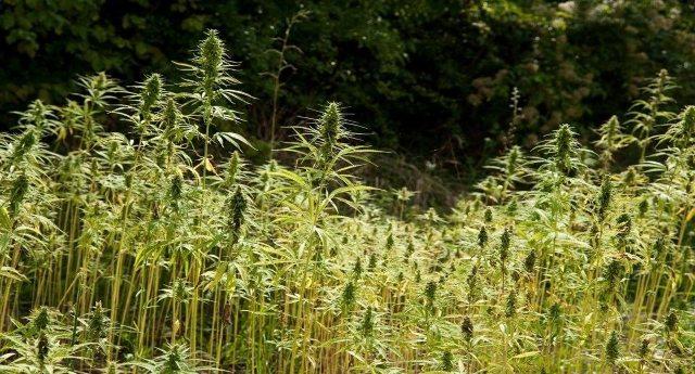 La rivincita della Cannabis – Nei campi confiscati alla camorra oggi cresce la canapa!