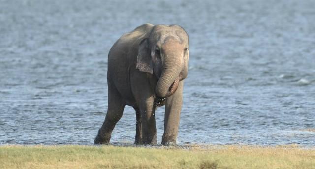 A partire dalla Cina, è boom del traffico di pelle di elefante – La carogna umana è riuscita a trovare il modo più rapido per far estinguere questa stupenda specie…!