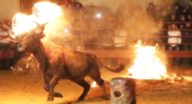 """L'apoteosi della vergognosa crudeltà umana – In questi giorni """"El toro Jubilo"""" – """"toro di fuoco""""  – Legano alle corna del toro materiale infiammabile. L'animale che impazzisce dal terrore e dal dolore corre disperato per il paese. Spesso si suicida incornando un muro. E le bestie umane si godono lo spettacolo…!"""