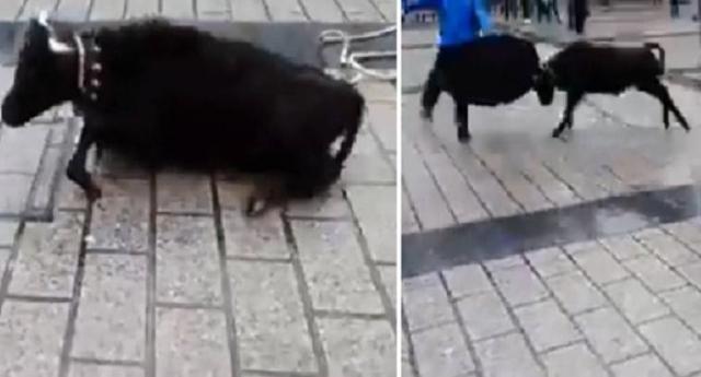 Vergognoso – Un'altra porcheria made in Spagna – Si chiama la Sokamuturra – toro cordato – Il Toro è legato ad una corda in piazza per fare spettacolo… Tutta la sofferenza dell'animale tra le bestiali risate della gente…
